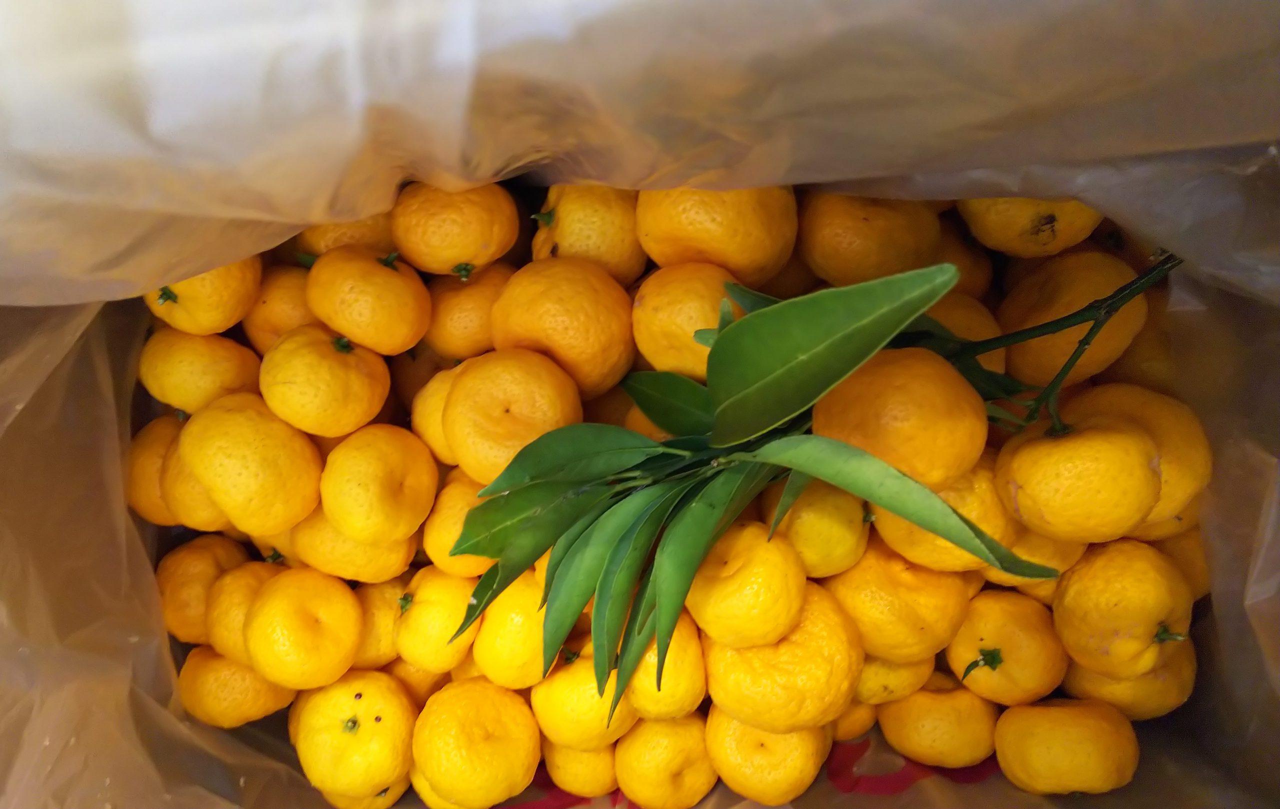 大和橘の収穫のデータから。